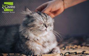 chat gris allongé sur un lit qui se fait caresser la tête et est bien détendu. Logo ISOstéo Lyon Animale en haut à gauche vert et blanc