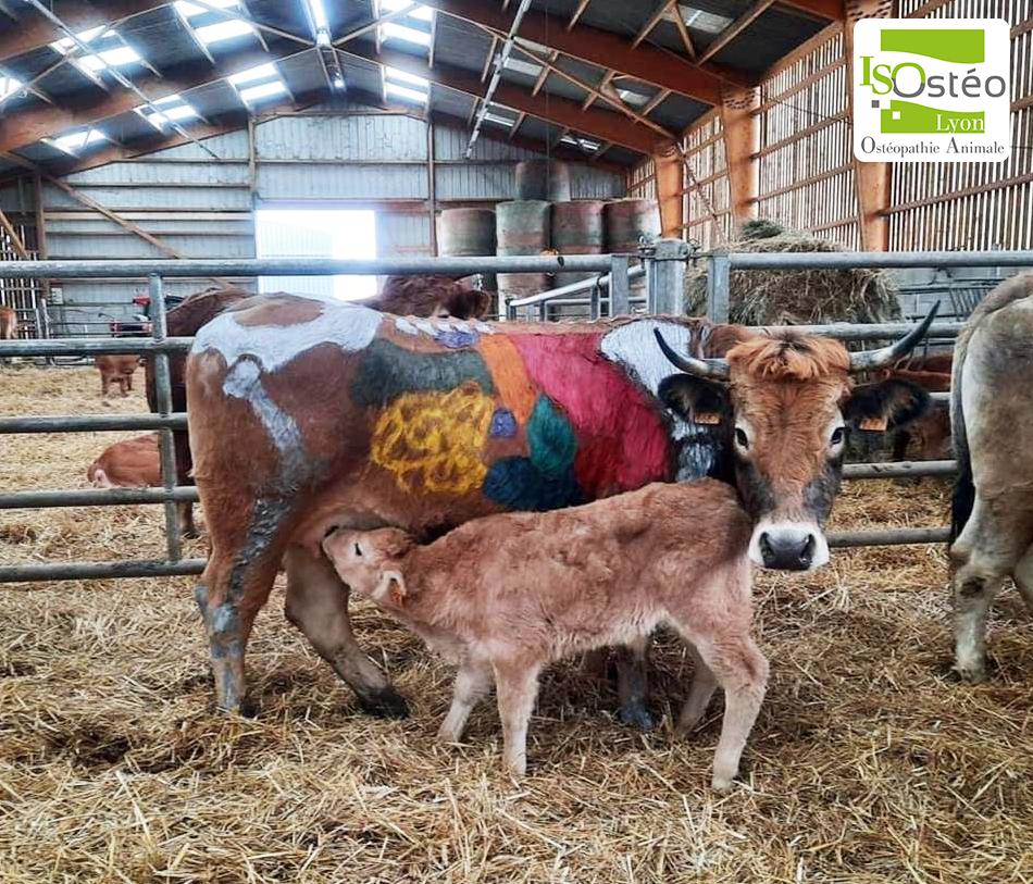 photo d'une vache allaitant son petit ; elle a des dessins sur les poils pour montrer les zones où travailler en tant qu'ostéopathe animalier