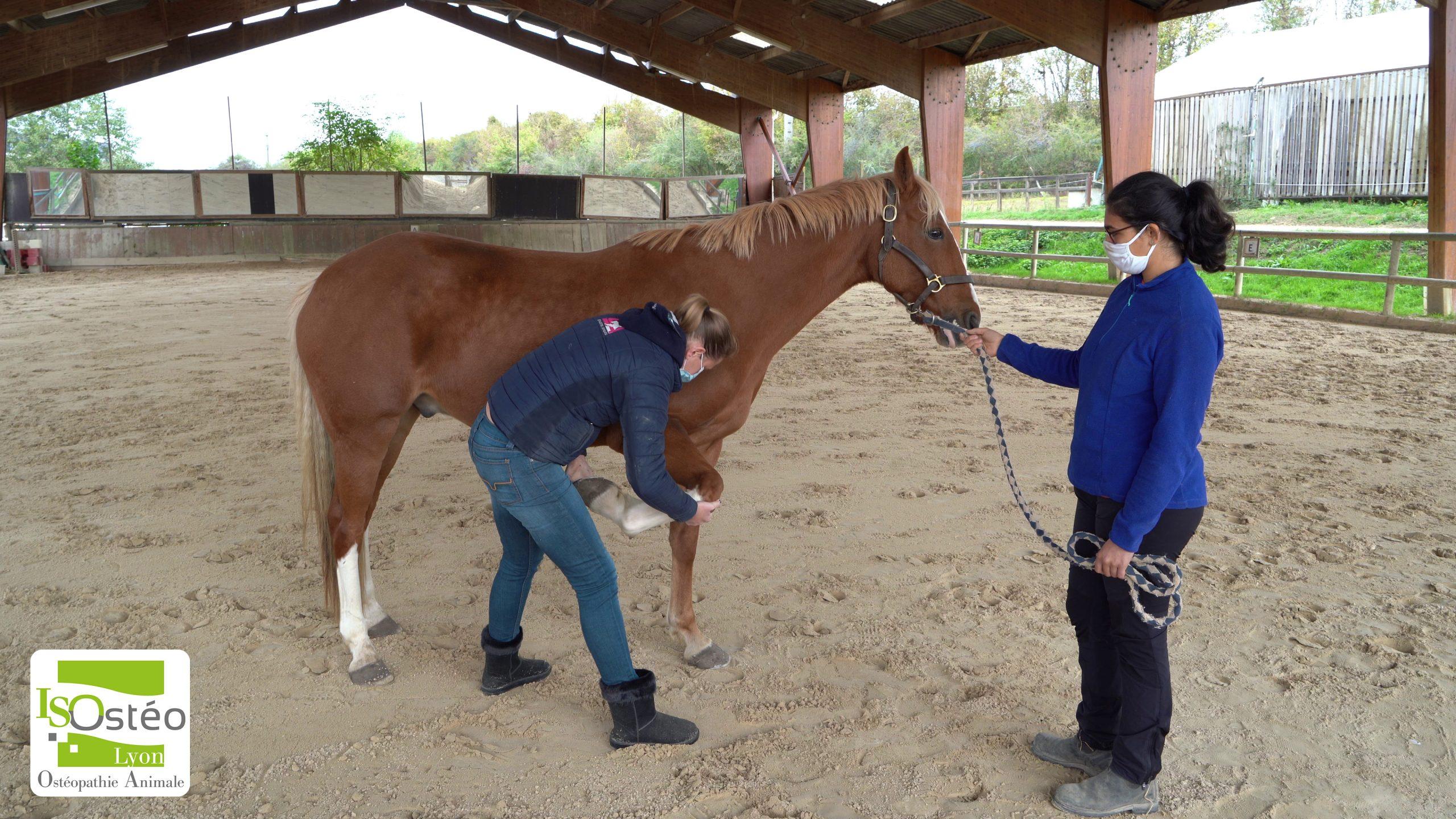 pratique ostéopathique animalière sur un cheval