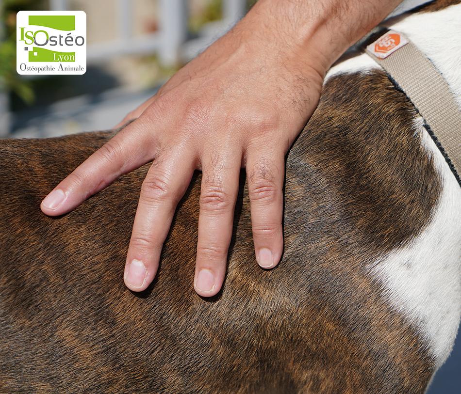 main d'un ostéopathe animalier sur le dos d'un chien portant un collier SPA